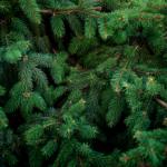 Organisation de la vente des sapins de Noël